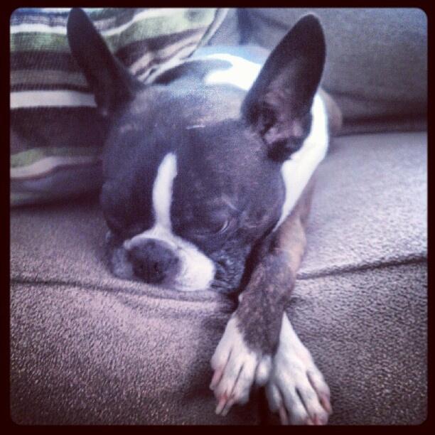 Chloe, ever the lady, naps cross-legged.  #bostonterrier  #bosty  #brindle  #boston #terrier #photo