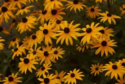 Black-eyed Susans (Rudbeckia hirta L.) are grown as perennials in mild climates and are hardy in U.S. Department of Agriculture plant hardiness zones 3 through 9. These plants, known for their bright ...
