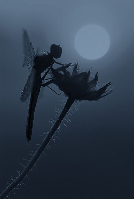This dragonfly looks like a fairy in silhouette.