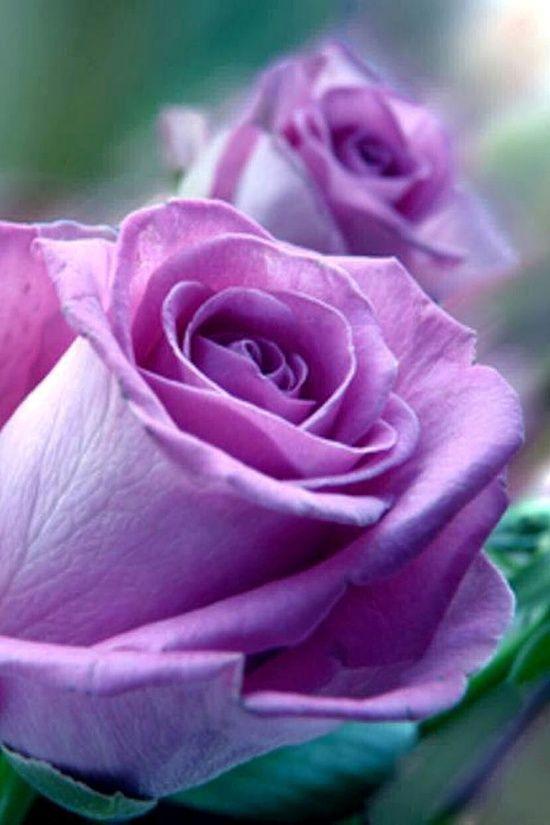beautiful #purple #roses