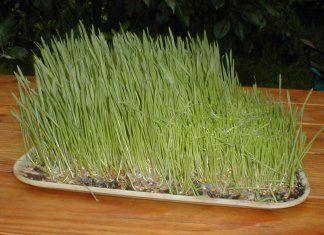 Pití šťávy ze zelené pšenice vám dodá po zimě novou energii