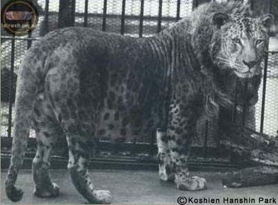 Leopard + Lion = Leopon