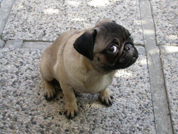 Fantastic Winnie Chubby Adorable Dog - 160c5ed93de8473f7e105042c9dab0ab--funny-pugs-funny-husky  Graphic_60904  .jpg