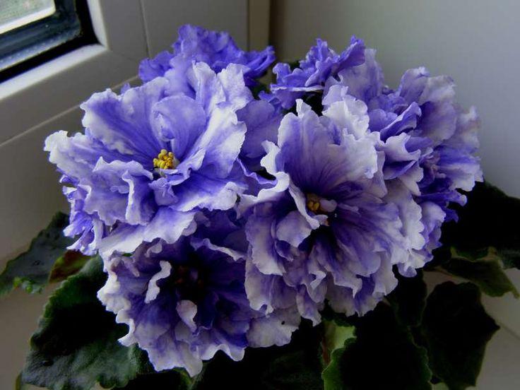 Васильковый букет фиалка фото, цветов вичуга