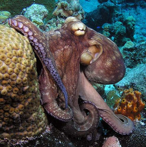 Gallery For > Real Octopus Pictures
