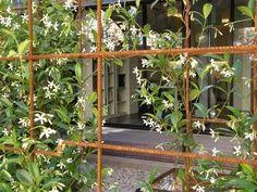 Chinese star jasmine on trellis