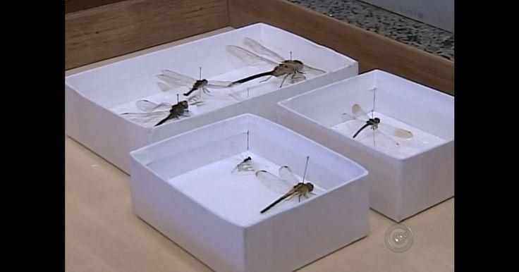 ONG aposta em libélulas contra a dengue em Paraguaçu Paulista