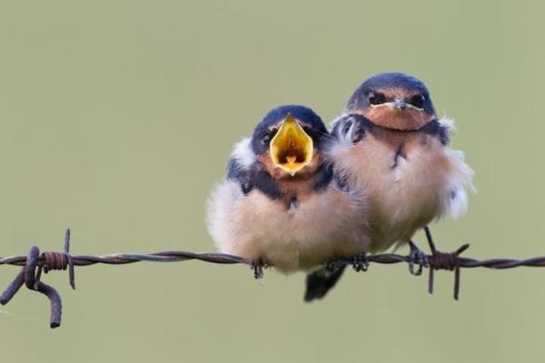 Two baby barn swallows.