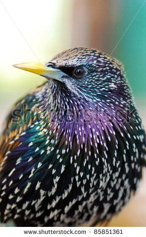 Common Starling                                                                                                                                                      More