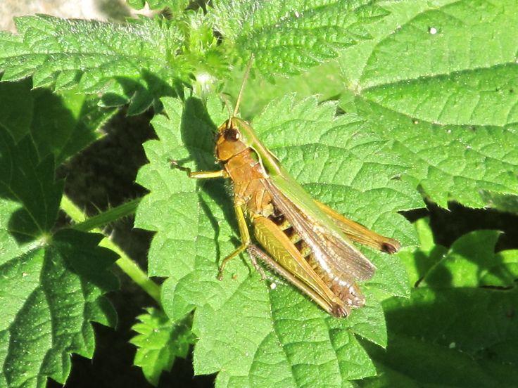 Grasshopper on a nettle leaf.