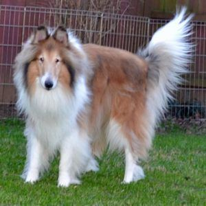 Laddie 3 « Collie Rescue of the Carolinas