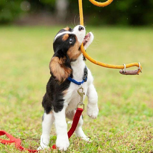 Tex Is Een Beaglelier Een Kruising Tussen Een Beagle En Een