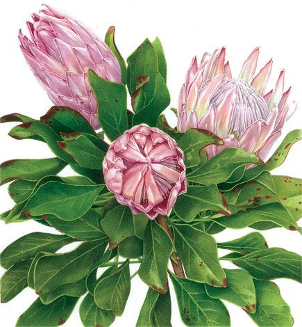 Botanical Art-protea