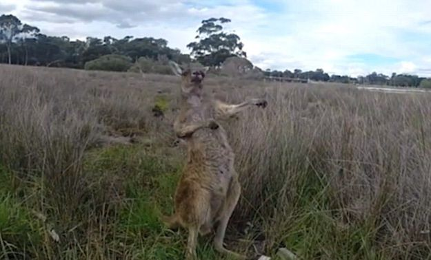 Rock 'n' Roo! Watch the hilarious moment a kangaroo busts out its best air guitar moves