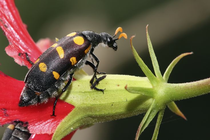 Description, Identification And Treatment for Blister Beetle Bites |