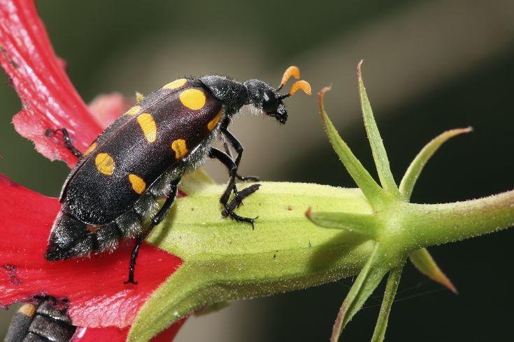 Description, Identification And Treatment for Blister Beetle Bites |