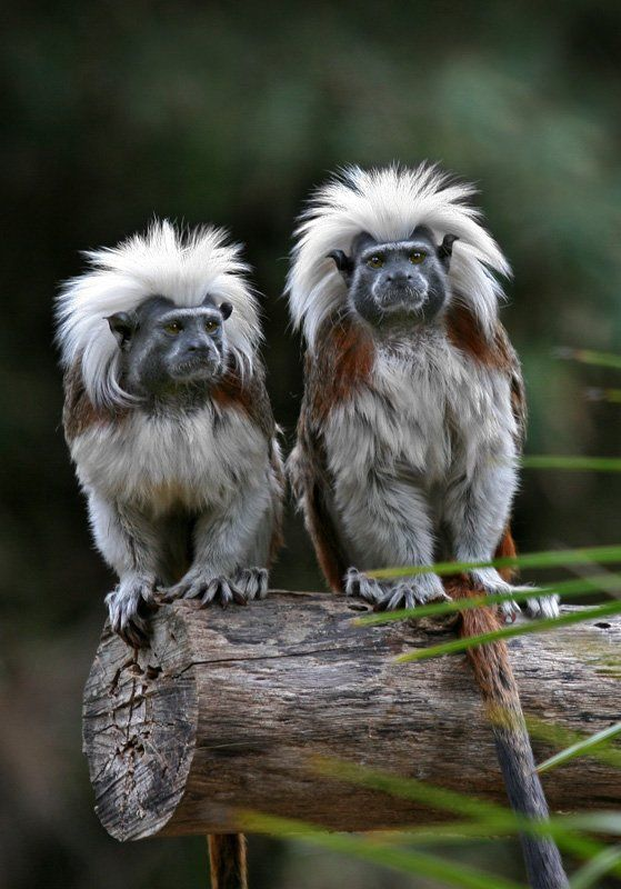 Cottontop Tamarin (Saguinus oedipus), also known as the Pinché Tamarin, is a small New World monkey weighing less than 1lb (0.5 kg). It is found in tropical forest edges and secondary forests where it is arboreal and diurnal.