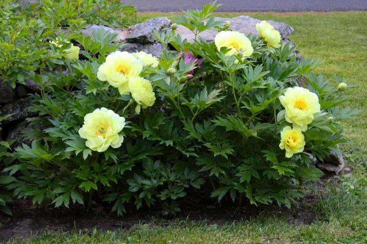 "I posted these yellow peonies on my Nora Murphy Country House Facebook page and everyone has had the very same comment: ""I have never seen a yellow peony!!!"" Neither had I. So the story goes keep reading.."