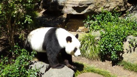 Panda Bear at Adelaide Zoo