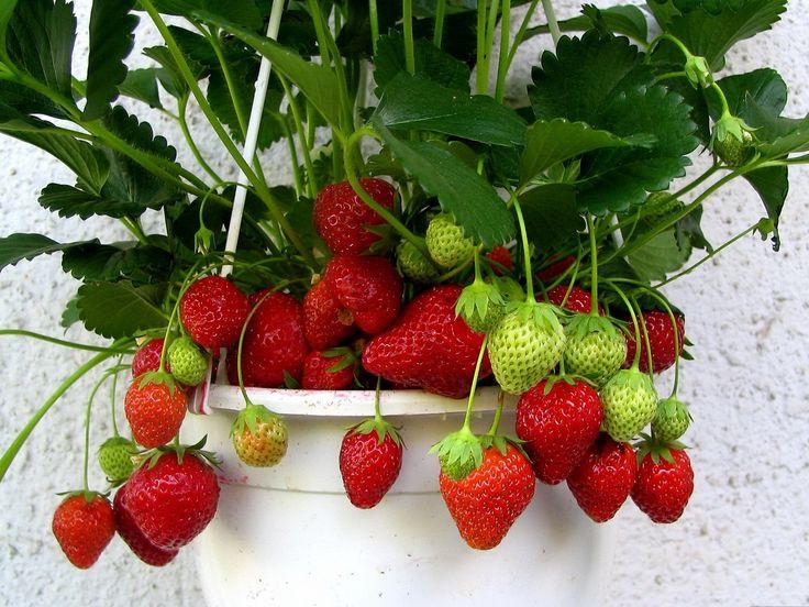 taze, masa, tazemasa, organik ürün, kahvaltılık, meyve, sebze, zeytin, zeytinyağı, salça, turşu, sirke, bakliyat, erişte, haftanın, sepeti, mevsim, takvim, yöresinde, taze, gıda, kolaylık, çeşitlilik, sağlık, bütçe tasarrufu, yemek, şef, tavsiye, yaz, çilek
