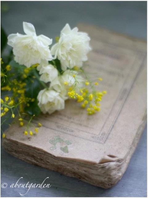 Banksia alba plena