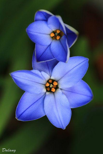 38 besten Blau Bilder auf Pinterest Blau, Traubenhyazinthe und