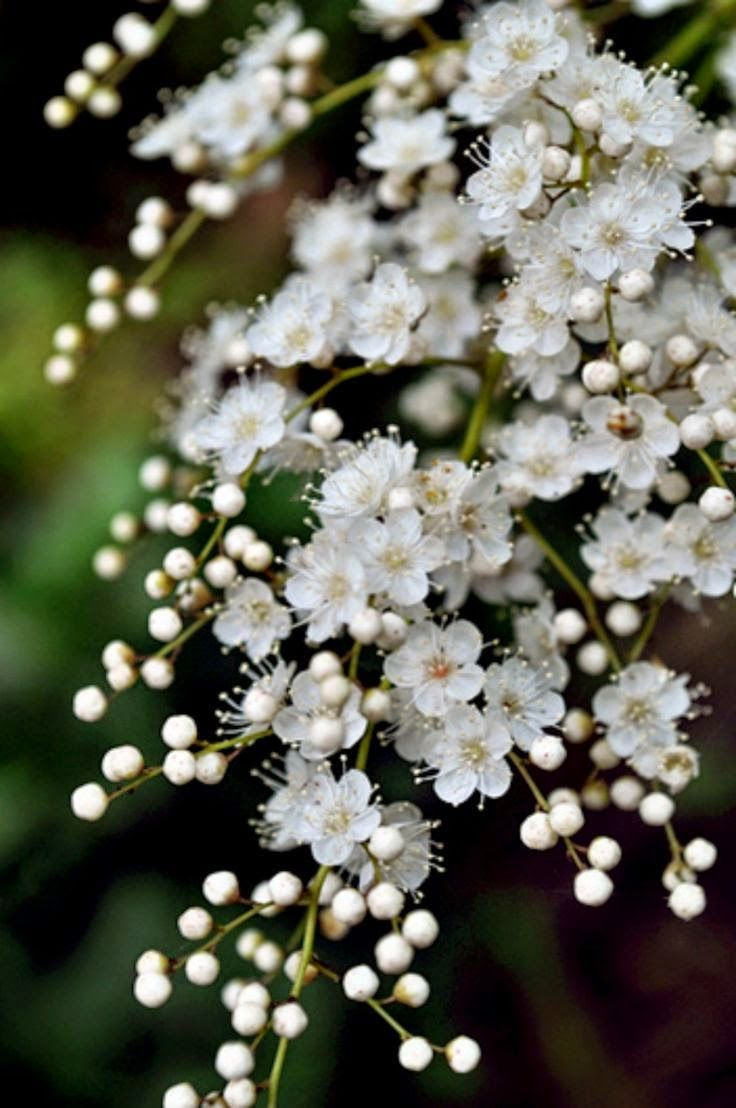 Pear Tree in Bloom -- bees are crazy about them, but I need to warn you that they smell like feet