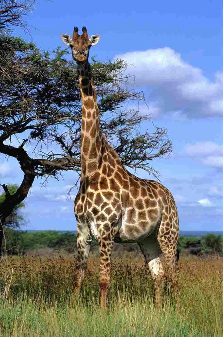 #giraf
