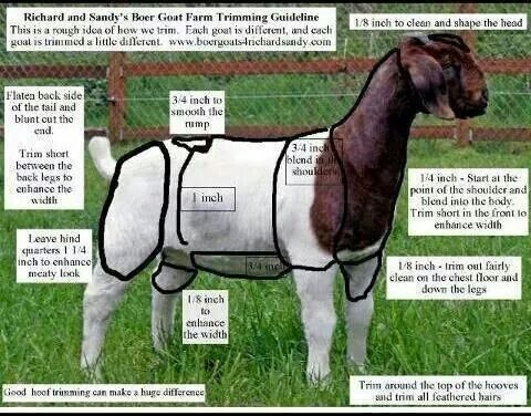 Diagram on clipping goats!