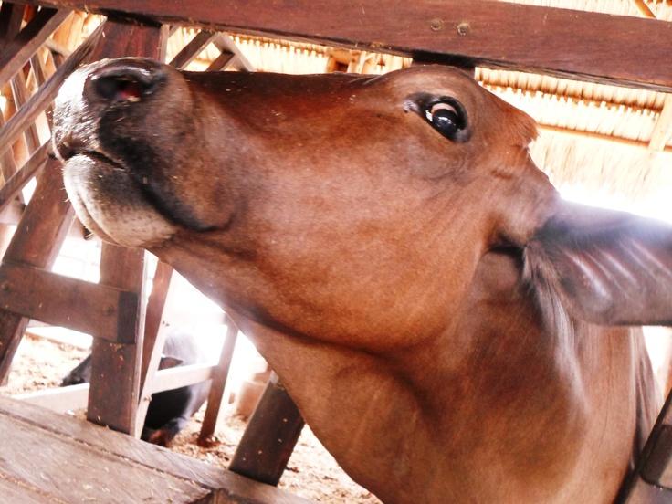 Conoce las diferentes razas de ganado vacuno, ovino, caprino, bufalino y camélido y has muuuuuuuuuuuuuuuu con nosotros!!!!