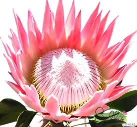 Make a statement in your wedding flowers with exotic, tropical King Protea flowers. Protea are very on-trend as a textural element in modern/vintage bridal bouquets. King protea have large heads with a spiky crown of petals surrounding a soft, fuzzy center. Petals are a light to medium pink and enclose a center of creamy yellow pink fuzz. Shipped fresh from the farm to your doorstep at wholesale prices. Please Note: Seasonally available for delivery between December and March. $85
