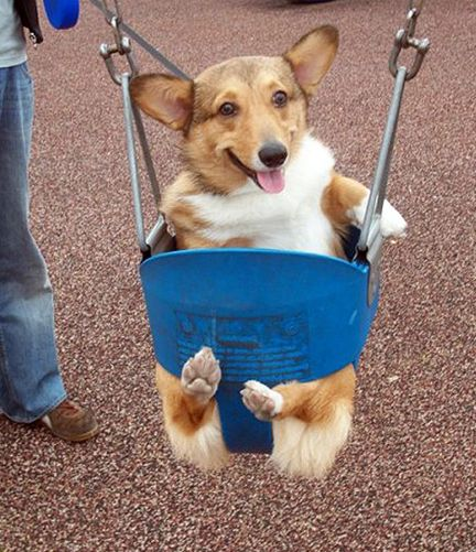 CORGICorgis, Dogs, Little Puppies, Funny, Baby Animal, Adorable, Happy Pictures, Happy Puppies, Swings Sets