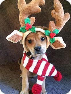 SOUTHINGTON, CT - Pug/Dachshund Mix. Meet Deer, a puppy for adoption. http://www.adoptapet.com/pet/17100208-southington-connecticut-pug-mix
