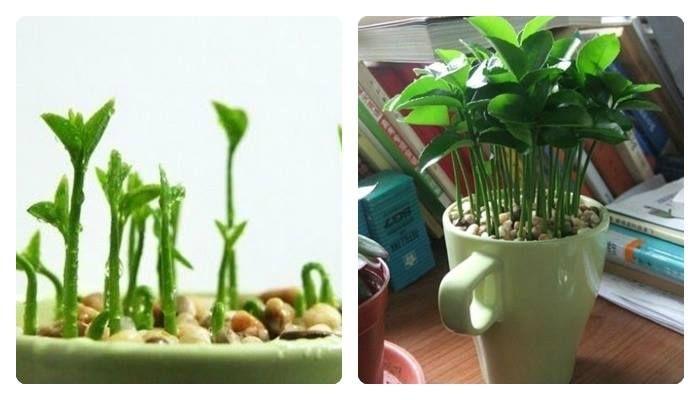 Perfumando a casa plantando sementes de limão
