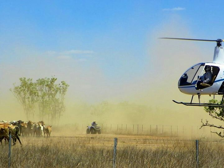Mustering cattle in the Northern Territory