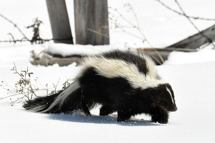 The striped skunk (Mephitis mephitis) is an omnivorous mammal of the skunk family Mephitidae. Found over most of the North American continent north of Mexico, it is one of the best-known mammals in Canada and the United States.
