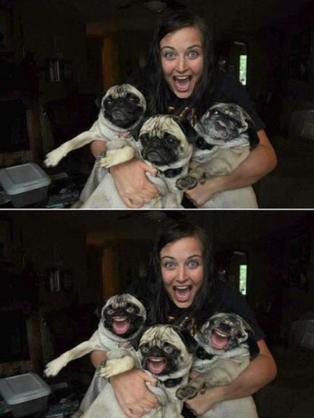 I die!!!!: Happy Pugs, Funny Pics, Funniest Photoshop, Funny Stuff, Humor, Funny Faces, Funny Photo, Pugs Faces, Faces Swap