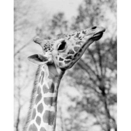 Head of giraffe (Giraffa camelopardalis) Canvas Art - (24 x 36)