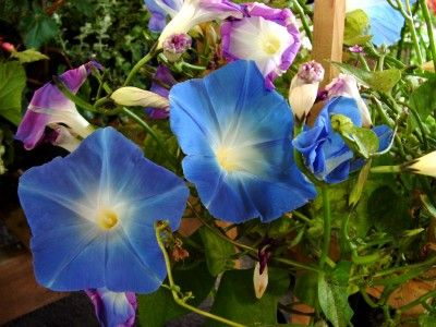 Growing Morning Glories: How To Grow Morning Glory Flowers - Morning glory flowers (Ipomoea purpurea or Convolvulus purpureus) are a common sight in many landscapes and may be found in any number of species within the Calystegia, Convolvulus, Ipomoea, Merremia and Rivea genera. While some varieties are described as noxious weed in some areas, the fast-growing vining plants can also make lovely additions to the garden if kept in check.