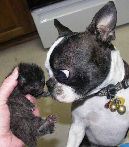 What the?  What is that?  That is not mine!   Boston Terrier & newborn kitten.