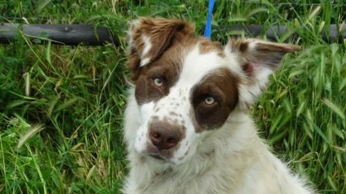 The Dog Spot Rescue, Rehabilitation & Rehoming Center Vacaville, CA. Freckles! <3 • Australian Shepherd & English Springer Spaniel X • Adult • Male • Lg.This handsome boy is looking for that special place called home. An Aussie mix, he enjoys adventure, trails, hiking, beach combing, romping in the snow. At home, he is a couch potato, content to hang out on the couch sharing a bowl of popcorn. Obedient, he could use more formal training, but is smart and willing. He has been with dogs his…