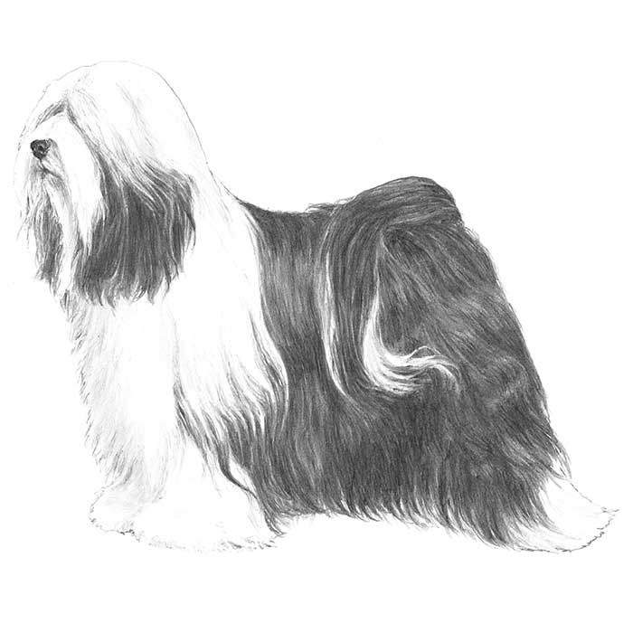 Tibetan Terrier breed standard illustration: The Tibetan Terrier is a medium-sized dog, profusely coated, of powerful build, and square in proportion. A fall of hair covers the eyes and foreface. The well-feathered tail curls up and falls forward over the back. The feet are large, flat, and round in shape producing a snowshoe effect that provides traction. The Tibetan Terrier is well balanced and capable of both strong and efficient movement. The Tibetan Terrier is shown as naturally as…