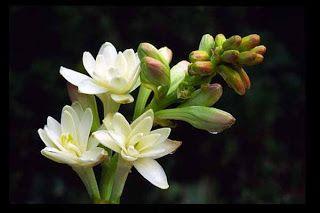 Flower Picture: Tuberose