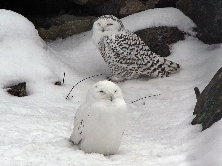 Tunturipöllö, Bubo scandiacus - snow owls awwwwww