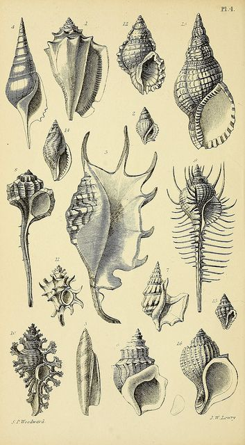 A manual of the Mollusca by BioDivLibrary on Flickr.  London :Virtue & Co.,1868..biodiversitylibrary.org/page/32571846