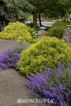 Golden Charm Thread-Branch Cypress - Compact, erect Conifer with interesting, thread-like needles that weep and drape over the entire shrub. Bright, golden-yellow new foliage, even in full sun. Excellent mop-headed accent plant that makes nice background border or small hedge. Evergreen.
