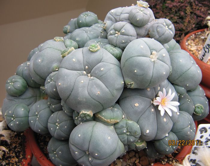 Lophophora caespitosa - peyote. Lovely plant, interesting results ingesting it. Better to unlock the hidden mysteries of marijuana!  Marijuana is powerful in edibles you make easily yourself. This book has great recipes for easy marijuana oil, delicious Cannabis Chocolates, and tasty Dragon Teeth Mints: MARIJUANA - Guide to Buying, Growing, Harvesting, and Making Medical Marijuana Oil and Delicious Candies to Treat Pain and Ailments by Mary Bendis, Second Edition. Only 2.99…