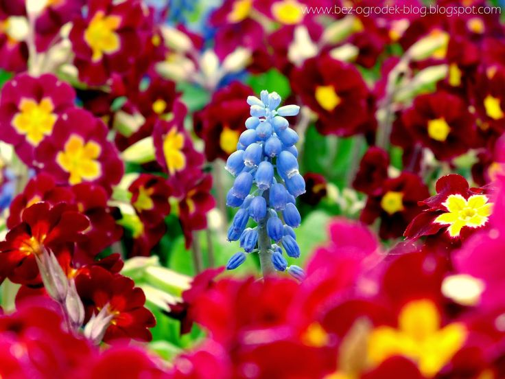 Primulas and single grape hyacinth in spring garden