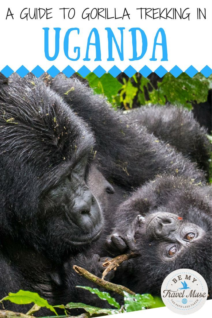 Gorilla trekking in Uganda; know before you go. What to expect, whether it's worth the cost, how to book and more! Bucket list travel tips for your trip to Africa. || Be My Travel Muse - Solo Female Travel Adventure Blog