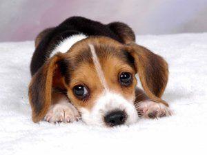 anjing ras Beagle